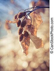 Alder cones in fall