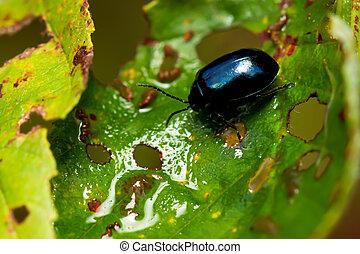 Alder leaf beetle Agelastica alni.