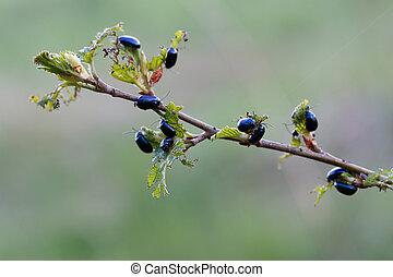 alder leaf beetles on leaves