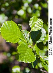 Alder leaf