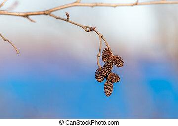 alder spring branch with buds