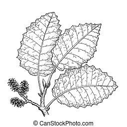 Alder - Alnus incana or tenuifolia
