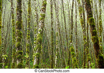 Portrait of a grove of red alder trees in an Oregon forest.
