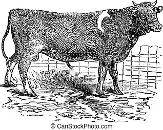 Alderney, cattle, vintage engraved illustration of Alderney, cattle.