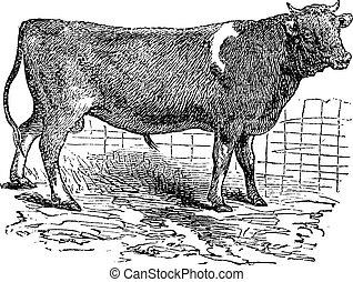 Alderney, cattle, vintage engraving. - Alderney, cattle, ...