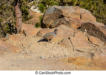 Alectoris barbara the bird pheasant family in Tenerife