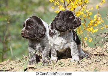 alemão, codorniz, cão