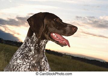alemão, shorthaired, ponteiro, dog.