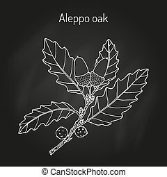 Aleppo oak Quercus infectoria , medicinal plant. Hand drawn ...