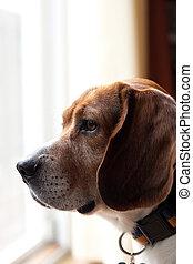 Alert Beagle Dog