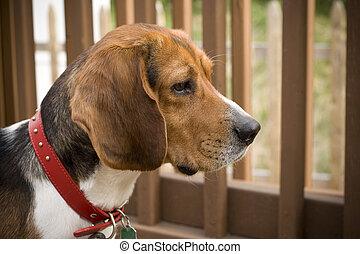 Alert Beagle Pup