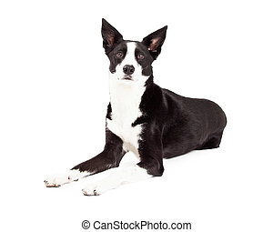 Alert Border Collie Mix Breed Dog Laying - An alert Border...
