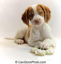 alert 10 week old brittany puppy dog