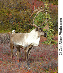 Alert Caribou - Caribou on Fall Tundra