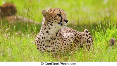 Alert cheetah sitting on field in forest - Alert big cat on ...