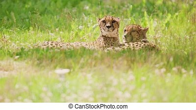 Alert cheetahs lying on field in forest - Handheld shot of ...