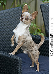 small chihuahua dog standing on a chair outside