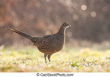 Alert common pheasant, phasianus colchicus, female standing on a green grass wet from dew in spring nature. Attentive wild hen looking into camera illuminated by sun on a meadow.