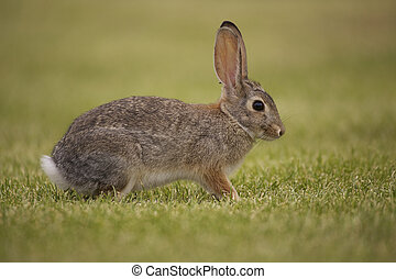Alert Cottontail - an alert cottontail rabbit in green grass