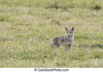 Alert coyote in a grassy field.