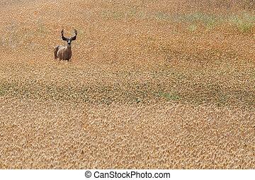 Alert Deer in Field