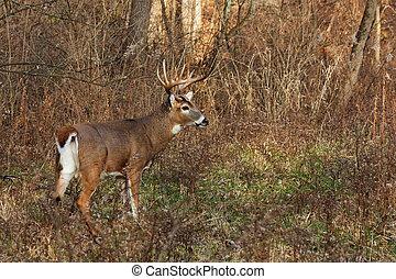 deer/buck prepares to run