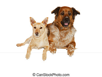 Alert jack russel terrier and large mixbreed dog lying close together side by side isolated on white