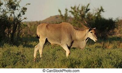 Alert eland antelope (Tragelaphus oryx), Mokala National...