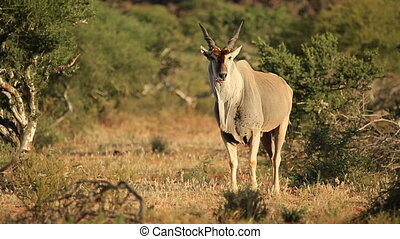 Alert eland antelope (Tragelaphus oryx) in natural habitat,...
