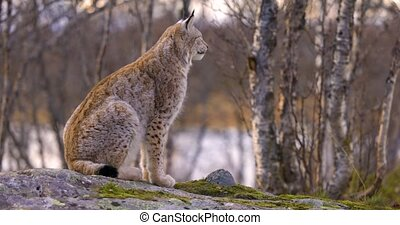 Alert eurasian lynx sitting on a rock in forest looking for ...