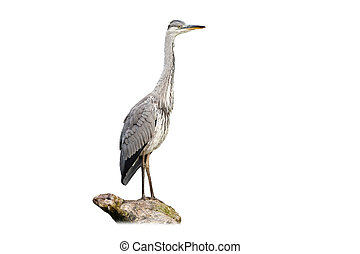 Alert grey heron sitting on bough isolated on white - Alert ...