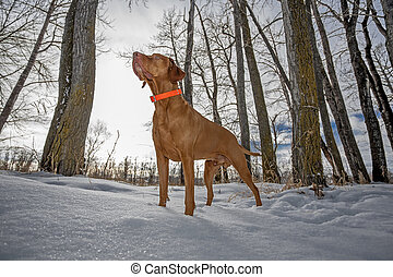 alert hunting dog in the winter forest