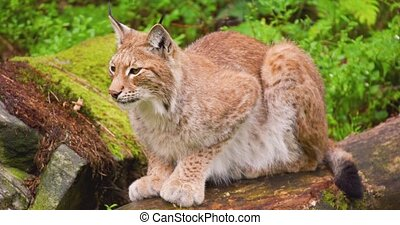 Alert lynx sitting on fallen tree in forest - Close-up of ...