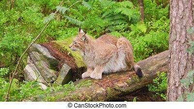 Alert lynx sitting on fallen tree. Undomesticated cat is ...