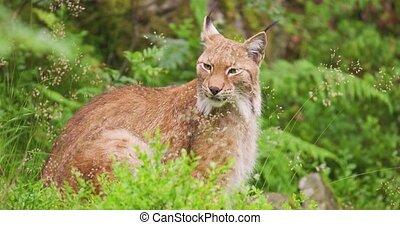 Alert lynx sitting on field in forest - Alert lynx amidst ...