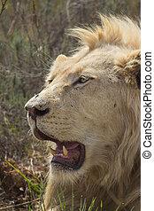Alert Male White Lion Portrait