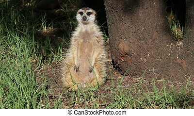 Alert meerkat (Suricata suricatta) sitting upright and...