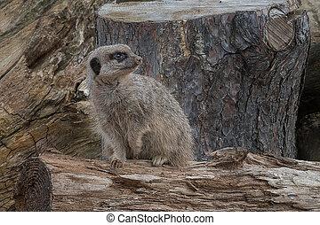 Alert meerkat on the lookout