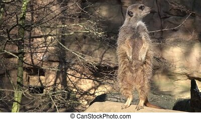 Alert meerkat ,Suricata suricatta, standing on guard - Alert...