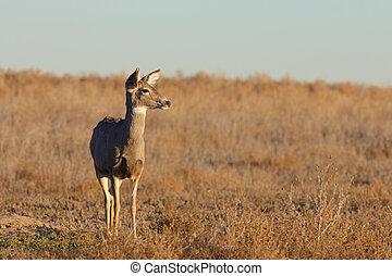 Alert Mule deer doe