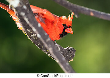 Alert Northern Cardinal Perched in a Tree