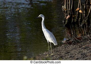 Alert snowy egret on Sanibel Island - Snowy egret stands by ...