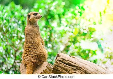 Alert Suricate or Meerkat (Suricata suricatta), standing to lookout