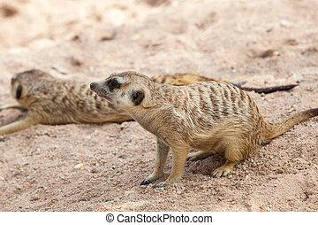Alert Suricate or Meerkat (Suricata suricatta)