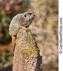 alert:, vaksam, meercat, på, den, hög