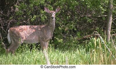 Alert white tailed deer in tall gra - An alert, wild white...