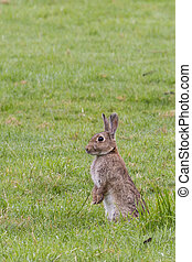 A wild rabbit {Oryclolagus Cuniculus }stood on its hind legs looking out for danger. The photo was taken just after sunrise in a field in Somerset UK.