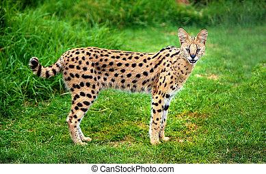 alerte, serval, chat