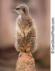 alertness:, vaksam, meercat, på, den, hög