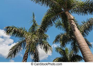 Alexander palm trees against blue sky